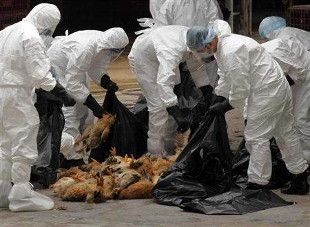 Health workers pack dead chicken at a wholesale poultry market in Hong Kong December 21, 2011. Credit: Reuters/Tyrone Siu