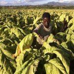 Farm worker, Solomon Motsi, harvests tobacco leaves at Nyamzura Farm in Odzi, about 200km (124 miles) east of the capital Harare February 18, 2011. REUTERS/Philimon Bulawayo