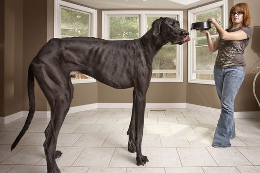 Kids think he's a horse! Meet Zeus the Great Dane – officially the world's tallest dog