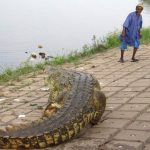 The crocodile feeder of Ivory Coast
