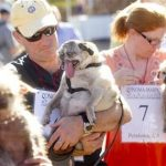 Penny, a 12-year-old pure bred pug, waits with owner James Montgomery to compete in the 25th annual World's Ugliest Dog Contest at the Sonoma-Marin Fair on Friday, June 21, 2013, in Petaluma, Calif. (AP Photo/Noah Berger)