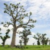 To match feature AFRICA-BAOBAB/