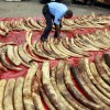 A policeman arranges seized elephant tusks to be inspected at Makupa police station in Mombasa