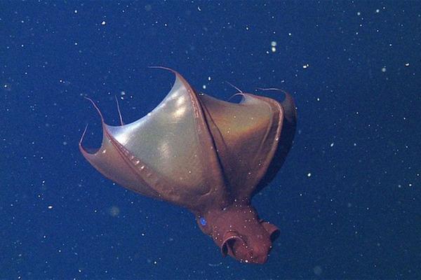 Vampire squid - (c) 2014 MBARI